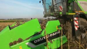 Nicht nur Mais und Getreide wird gedroschen - auch Sonnenblumenfelder werden derzeit mit den großen Maschinen abgeerntet. Foto: Bachmaier